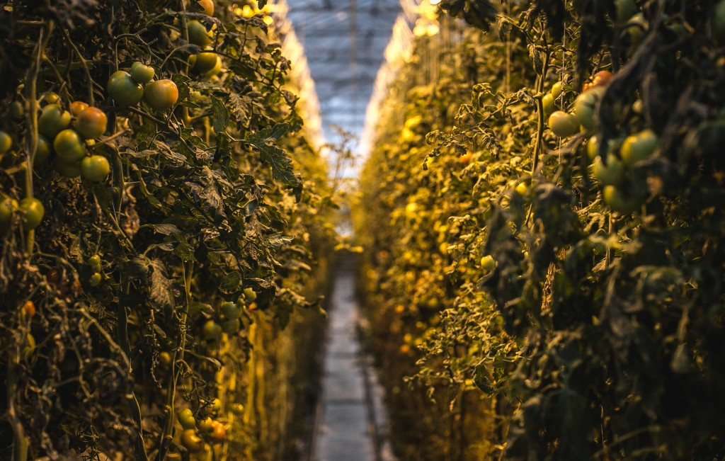 Iceland | Greenhouse | Tomatoes